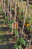 Tomatoes protected from the wind with tiles, Vegetable Garden, Provence, France