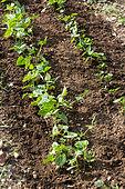 Bush bean seedling, Provence, France