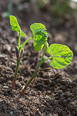 Seedling bush beans in the vegetable garden, Provence, France