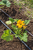 Zucchini plant and irrigation drip in Vegetable Garden, Provence, France