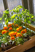 Marigolds and Tomato seedlings, Provence, France