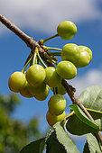 Unripe cherries, Provence, France