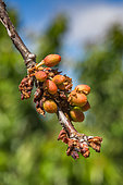 Dried unripe cherries on branch, Provence, France