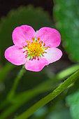 Remontant Strawberry 'Vivarosa' flower, Provence, France