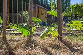 Eggplant plants and grass mulch in Vegetable Garden, Provence, France