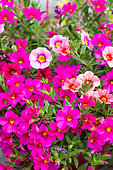 Calibrachoa 'Million Bells' pink, Provence, France