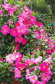 Mandevilla flowers, Provence, France