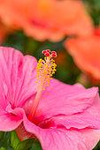 Fleur d'hibiscus de Chine, Provence, France