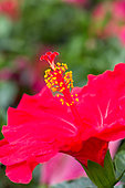Flower of Chinese hibiscus, Provence, France