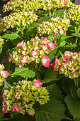 Hydrangea flowers (Hydrangea macrophylla), Provence, France