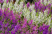 Angelonia flowers, Provence, France