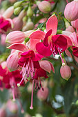 Fuchsia flowers, Provence, France