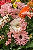 Gerbera flowers, Provence, France