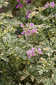 Pelargonium flowers, Provence, France