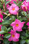 Flowers of Mandevilla, Provence, France