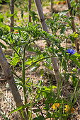 Tomato in stake in Vegetable Garden, Provence, France