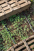 White mustard seedlings protected from the sun with trays, Vegetable Garden, Provence, France