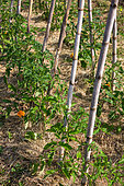 Tomatoes in stakes in Vegetable Garden, Provence, France