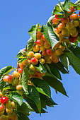 Ripening cherries on the tree, Provence, France