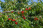 Red cherries on the tree in the Vegetable Garden, Provence, France