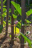 Plant of flower Eggplant in Vegetable Garden, Provence, France