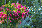Neon rosebush in bloom and small vegetable garden barrier, Provence, France