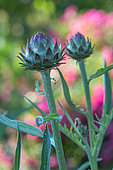 Flower of cardoon, Provence, France