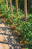 Tomato on stakes and Tagetes as companion planting in a vegetable garden, Provence, France