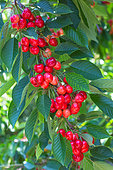 Red cherries on tree, Provence, France