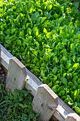 Mesclun mix in a square foot kitchen garden, Provence, France
