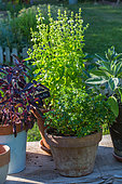 Sage, purple and green basil Basil pots in Vegetable Garden, Provence, France