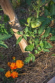 Tomato and Tagetes as companion planting, Provence, france