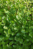 White Mustard used as green manure in a kitchen garden, Provence, France
