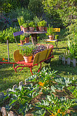 Herbs in pot and square foot kitchen garden with courgette, Provence, France
