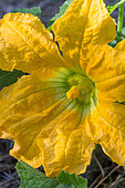 Male flower of courgette, Provence, France