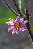 Flower of eggplant, Provence, France