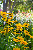 Coreopsis bed flowers, Provence, France