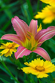 Daylily 'Chicago Rosy' and Coreopsis flowers, Provence, France