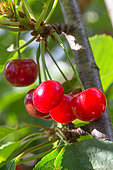 Red Morello cherries on the tree, Provence, France