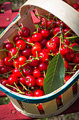 Morello cherries in a basket, Provence, France