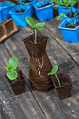 Zucchini seedlings in peat pots, Provence, France
