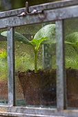 Zucchini seedlings in miniature glass greenhouse, Provence, France