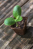 Zucchini seedling in peat pot, Provence, France