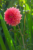 Flower of Cactus dahlia, Provence, France