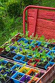 Cosmos sulphureus seedlings in plastic pots, Provence, France