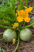 Zucchini fruits with flowers, Provence, France