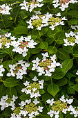 Hydrangea 'Lanarth White', Provence, France
