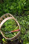 Harvesting mesclun mix, Provence, France