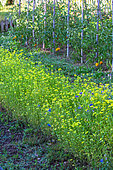 Plate-bande de moutarde, engrais vert au potager, Provence, France