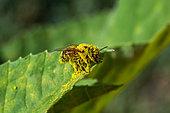Abeille à miel recouverte de pollen, Provence, France